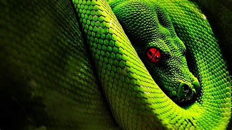 imagenes de viboras verdes cu 225 l es la serpiente m 225 s larga del mundo