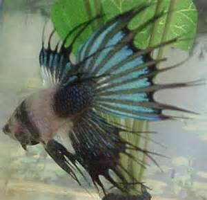 betta losing color betta losing color rapidly in sections page 3 betta