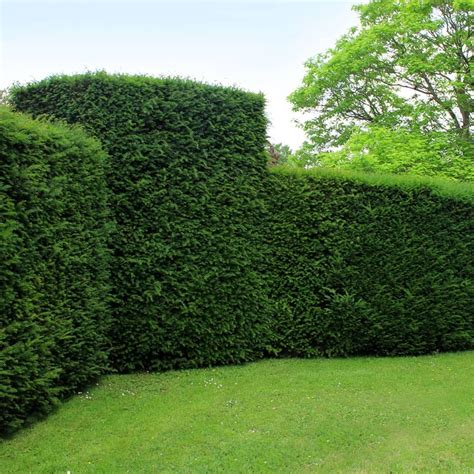 yew hedge plants taxus baccata hedging