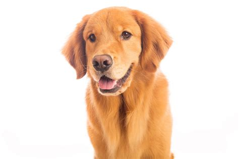 golden retriever information for golden retriever dogs breed information omlet