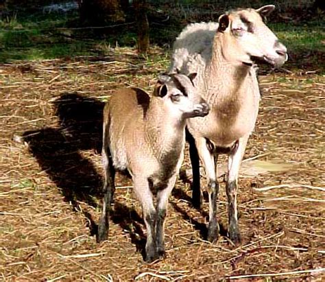 Types Of Hair Sheep by Breed Description