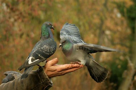 alimentazione piccioni piccioni d alimentazione gentili immagine stock immagine
