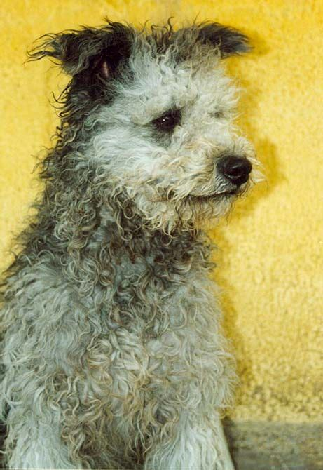pumi puppies for sale photos 215 best images about puli on pictures puppys and hungarian