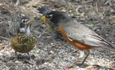 wild birds unlimited how robins find those worms