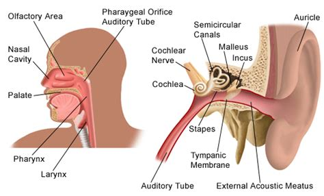 ear nose throat how are the ear nose and throat connected quora