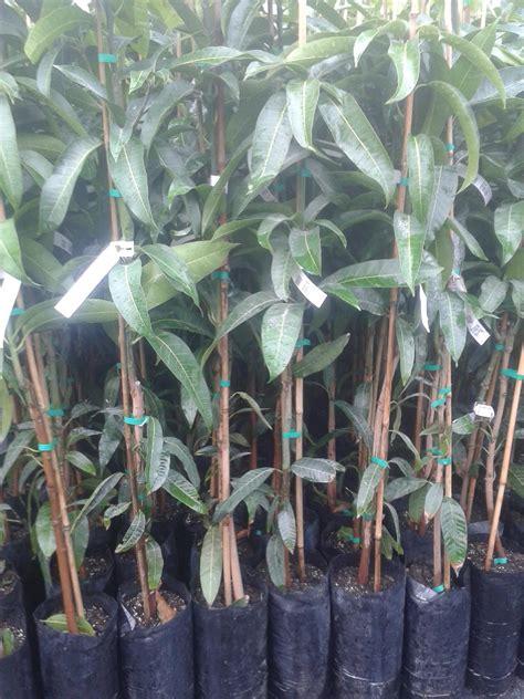 pianta di mango in vaso mango piante in vaso mango innestato balestrate palermo