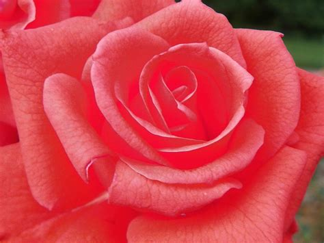 pink roses j beachy photography pink