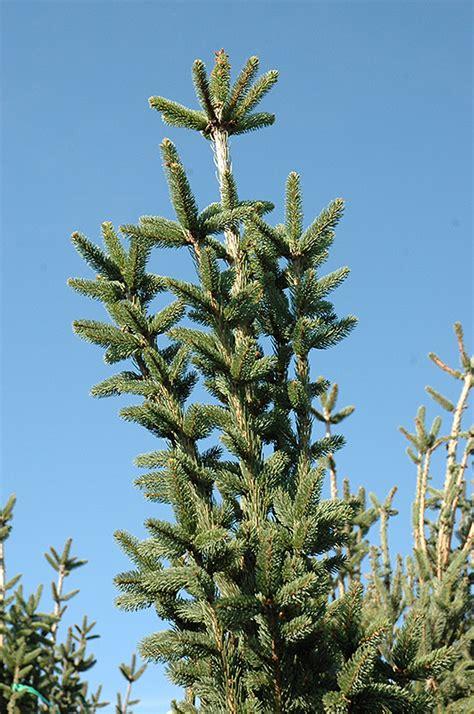 columnar norway spruce picea abies cupressina