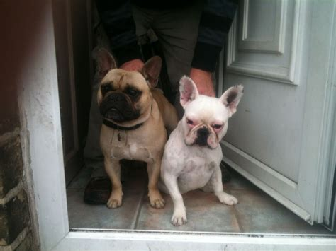 pied bulldog puppies for sale blue pied bulldog puppies for sale bradford west pets4homes