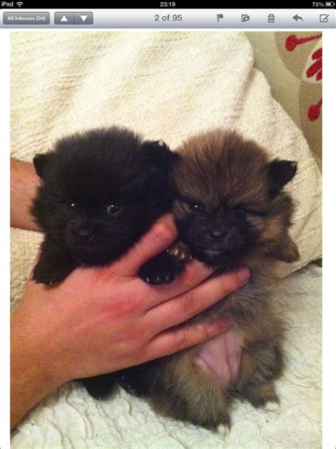 mini teacup pomeranian puppies pin tiny teacup pomeranian puppies for sale on