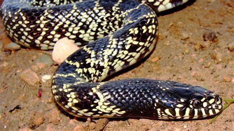 vs snake california king snake vs python pet snakes