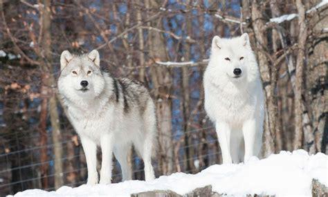 imagenes surrealistas de lobos lobos polares en la nieve im 225 genes y fotos