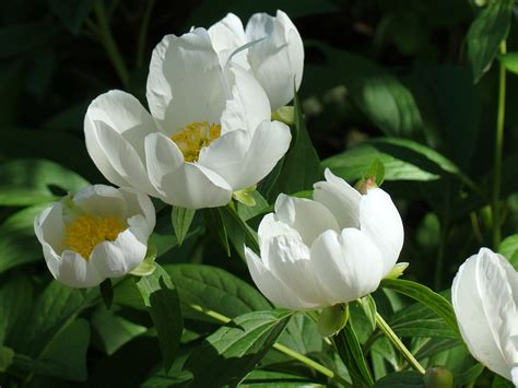 tips for taking care of peonies 187 blooms today