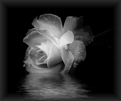 imagenes de tristeza rosas s 227 o as flores tristes as que ofere 231 o sentimento e