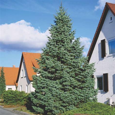 abeti da giardino abete abies concolor alberi abete alberi
