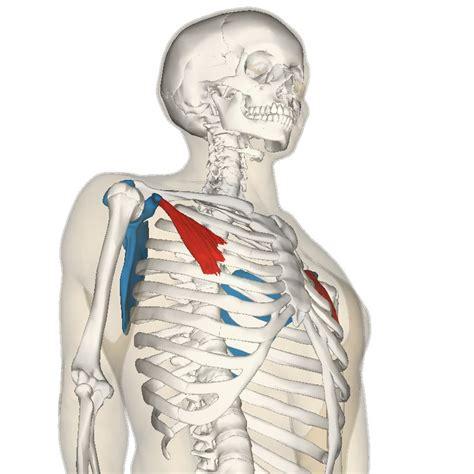 golf swing biomechanics anatomy pectoralis minor muscle golf loopy play your golf like