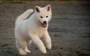 秋田犬图片