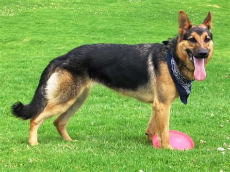 trained german shepherd puppies german shepherd obedience german shepherd breeds picture