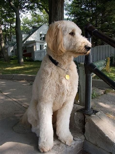 goldendoodle haircuts 1000 images about golden cuts on pinterest poodles