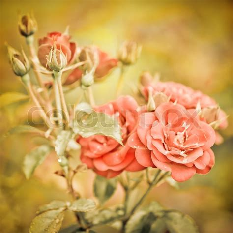 vintage style floral background with pink blooms royalty abstract romantic pink roses flowers with water drops