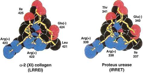Rheumatoid Arthritis And Proteus figure 9 molecular similarity of proteus urease and type
