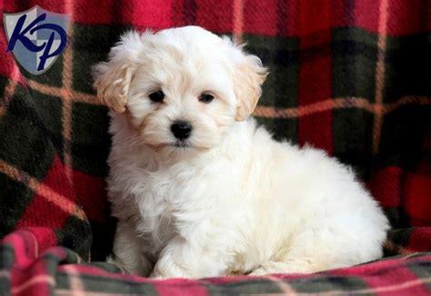 maltipoo puppies for sale in dallas 138 best maltipoo puppies for sale images on