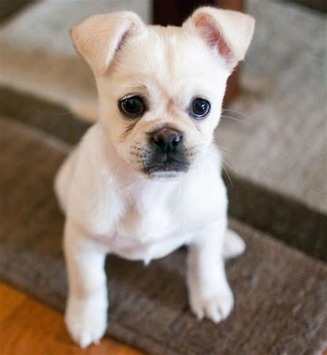 best mixed breed dogs 25 best ideas about pug mixed breeds on pug mix small pug and pug