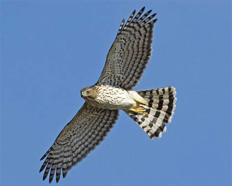 coopers hawks coopers hawk pictures coopers hawk cooper s hawk audubon field guide