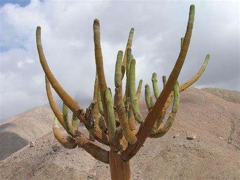 cactus candelabro educarchile cactus candelabro