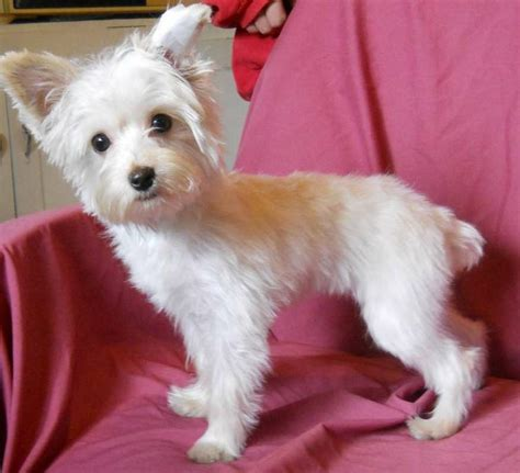platinum blonde yorkie 44 best images about gregory s blondie other yorkie s on