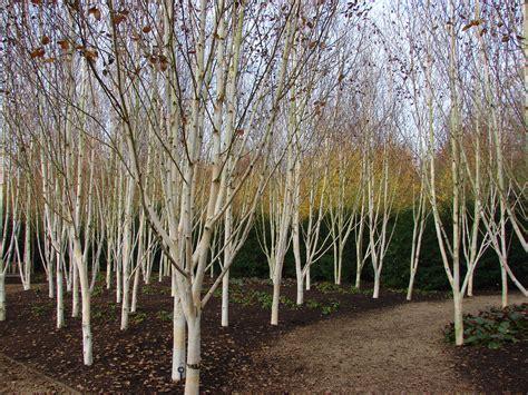 silver birch tree kashmir pictures