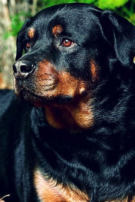 how big can a rottweiler get 1000 ideas about rottweiler puppies on rottweilers rottweiler and