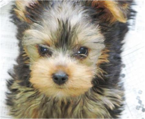 yorkie problems quot teacup quot yorkies quot health issues