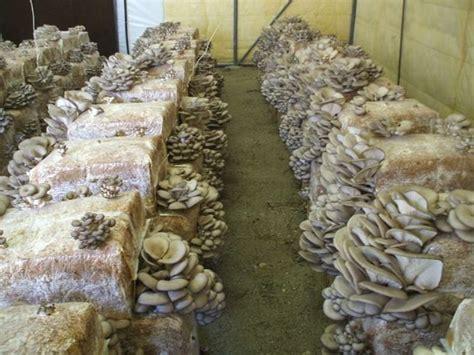 cucinare funghi coltivati balle di funghi ortaggi coltivare balle di funghi