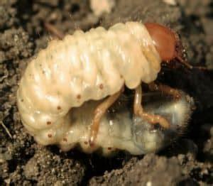 lombrichi nei vasi eliminare le larve di maggiolino