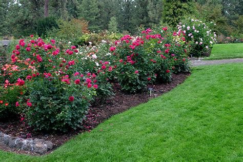 rose bed rose bed beautiful scenery photography