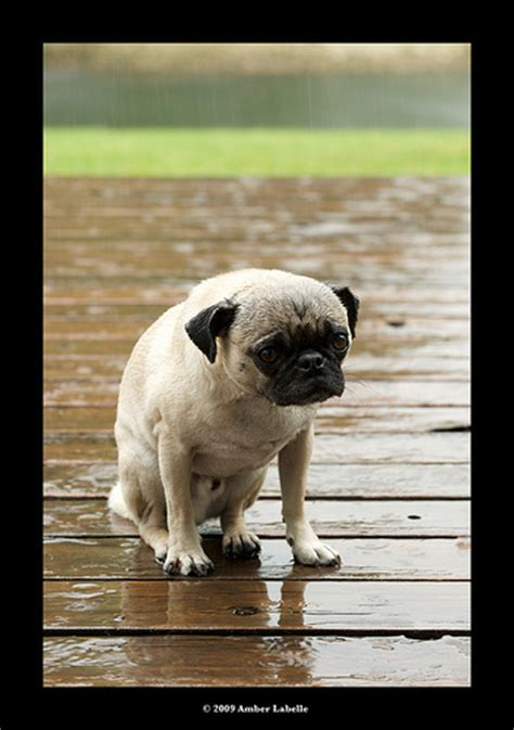 pug of the day photo of the day saddest pug reflections