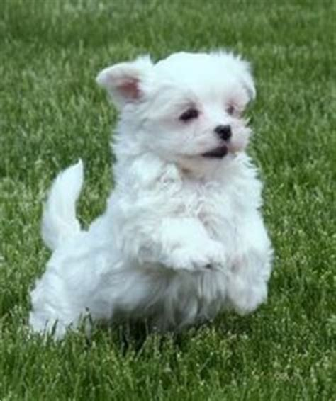 my wish on small breeds sheds and yorkie