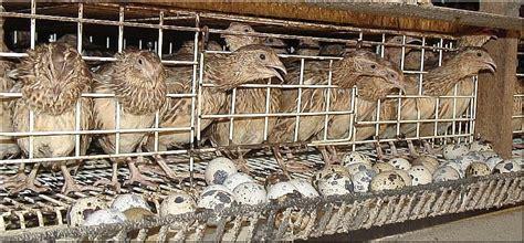 sle business plan for quail farming bangladesh development studies poultry quail farming