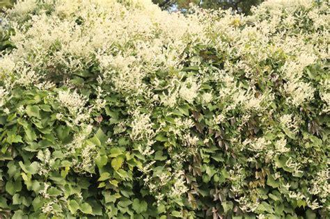 Kletterpflanze Schattig Winterhart by Kn 246 Terich Als Kletterpflanze 187 Pflegetipps Und Wissenswertes