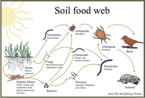 soil food web diagram soil basics biology garden guidance