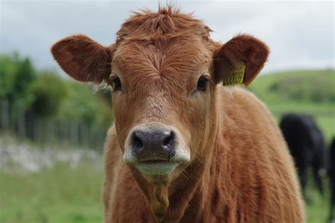 Cow Pictures