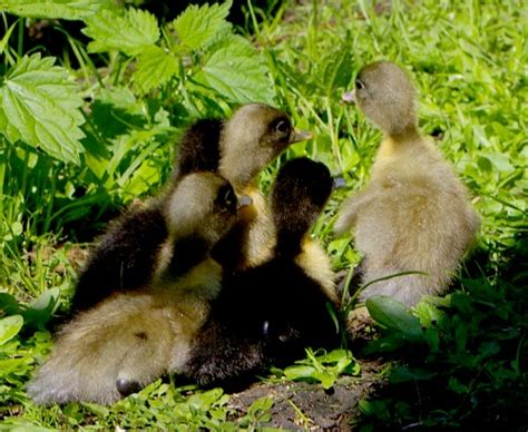 raising ducks in backyard raising ducks in the backyard or barnyard