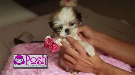 teacup yorkie puppies for sale in houston teacup puppies for sale in autos post