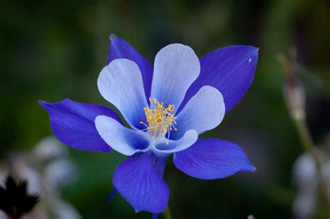 blue columbine flower hd wallpaper flowers wallpapers