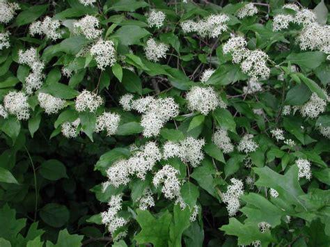 gray dogwood cornus racemosa lam 01 flowering trees bushes and shrubs of sleepy hollow lake