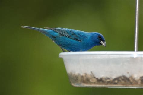 attracting indigo buntings nature notes blog