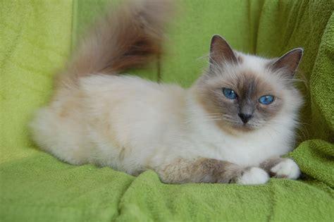 los das de birmania 8483466570 la leyenda budista sobre los gatos tomasalud blog