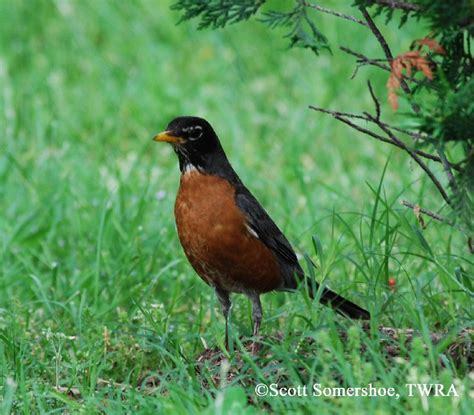 tennessee watchable wildlife american robin habitat