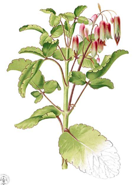 Tanaman Herbal Daun Cocor Bebek Suru Bebek Isi 10 Tunas 2 khasiat tanaman cocor bebek trend burung